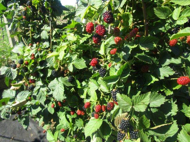 Ежевика гай — описание сорта, характеристика, выращивание, фото и отзывы