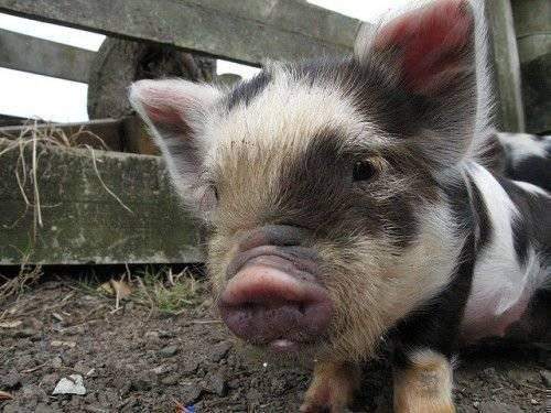 Болезни свиней: симптомы и лечение, фото. проявления на коже