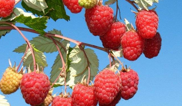 Малина новость кузьмина характеристика агротехника выращивания