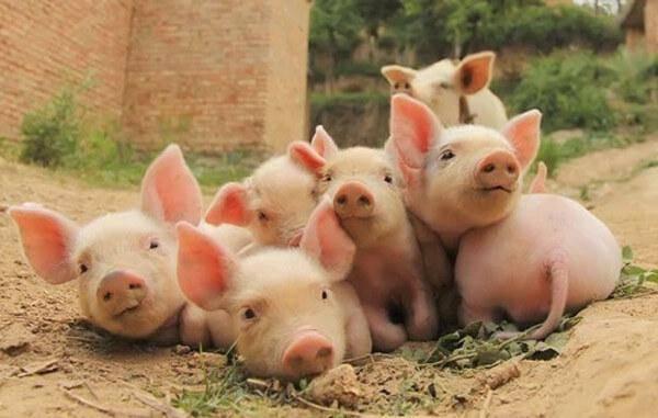 Статьи о племенном свиноводстве на piginfo   одна из причин низкой продуктивности свиноматок.