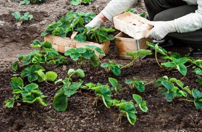 Правильная подготовка почвы для клубники перед посадкой осенью или весной