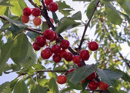 Черешня валерий чкалов: описание сорта и особенности агротехники