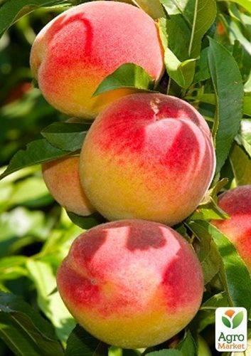 Персик рита — описание сорта и отзывы садоводов