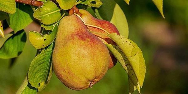 Ржавчина на груше чем лечить: 120 фото и советы как спасти дерево в домашних условиях