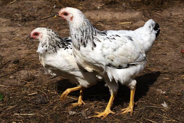 Карликовый вельзумер: описание породы кур и ее особенности, характеристики и тонкости содержания, выращивания, кормления