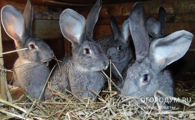 Кролики породы ризен с фото и видео