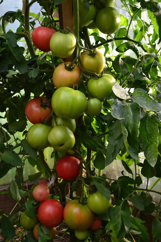 Сорта томатов: малиновое чудо (серии)