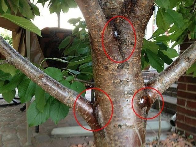Почему на черешне лопнула кора и плоды