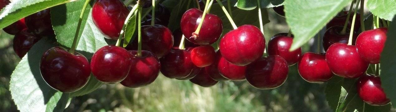 Описание самоплодной вишни сорта загорьевская