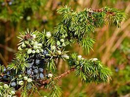 Полезные свойства и противопоказания плодов можжевельника