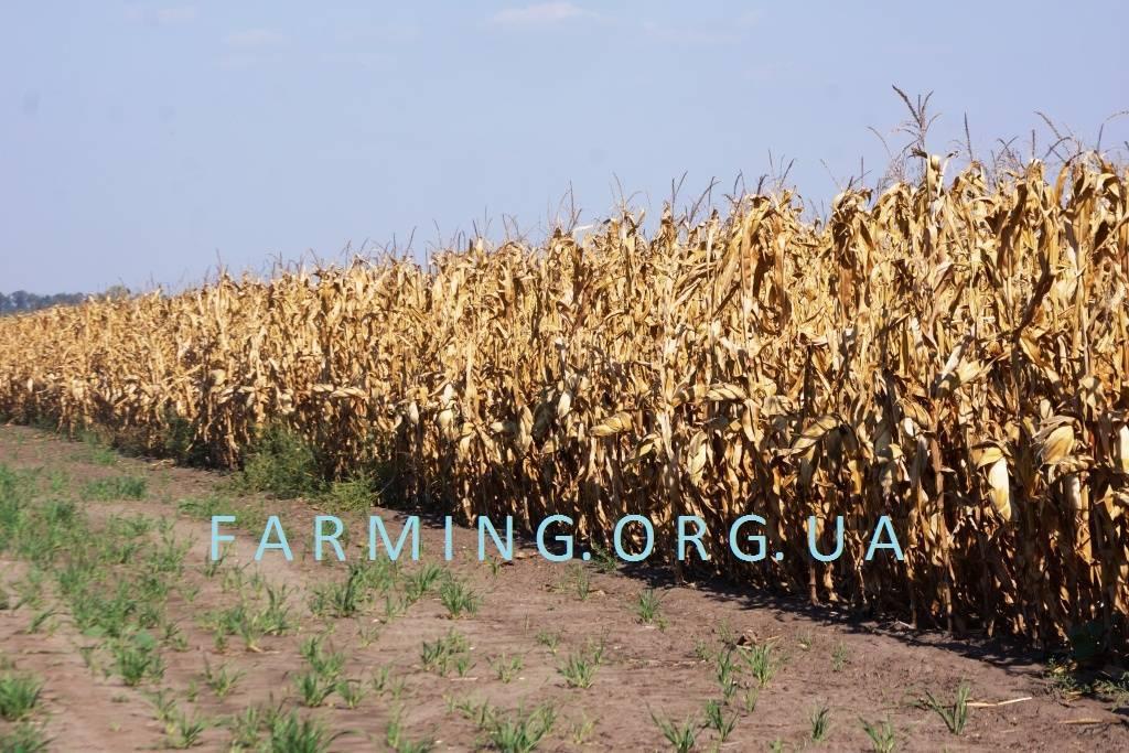 Уборка кукурузы на зерно и силос: сроки, способы, инструкции