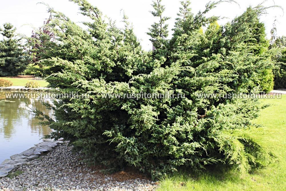 Можжевельник казацкий блу дануб (juniperus sabina blue danube)