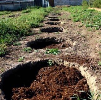 Черная смородина: выращивание и уход