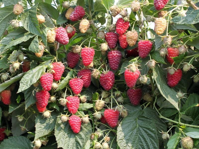 Самые урожайные сорта малины. выбор редакции