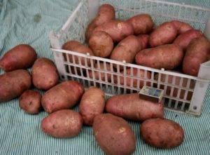 Характеристика сорта картофеля ред леди
