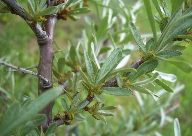 Отвар из облепихи: рецепт и польза отвара из листьев и ягод