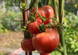 Сладкий и вкусный томат «медовый салют»: описание сорта и секреты выращивания