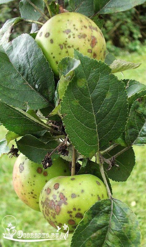 Как бороться с паршой на яблоне: обработка