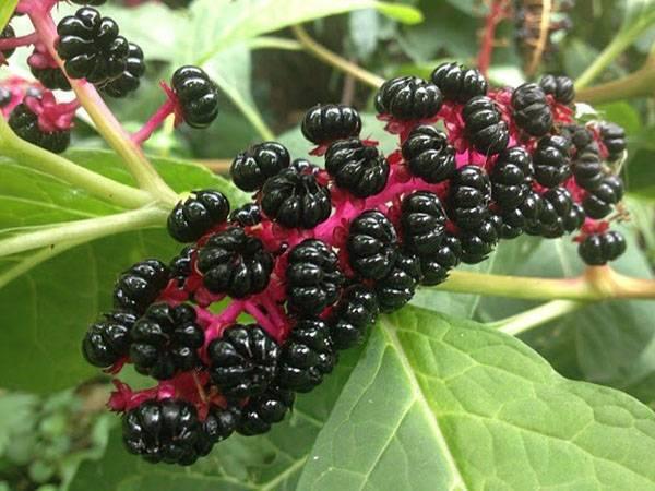 Лаконос американский и костянковый: лечебные и полезные свойства ягоды