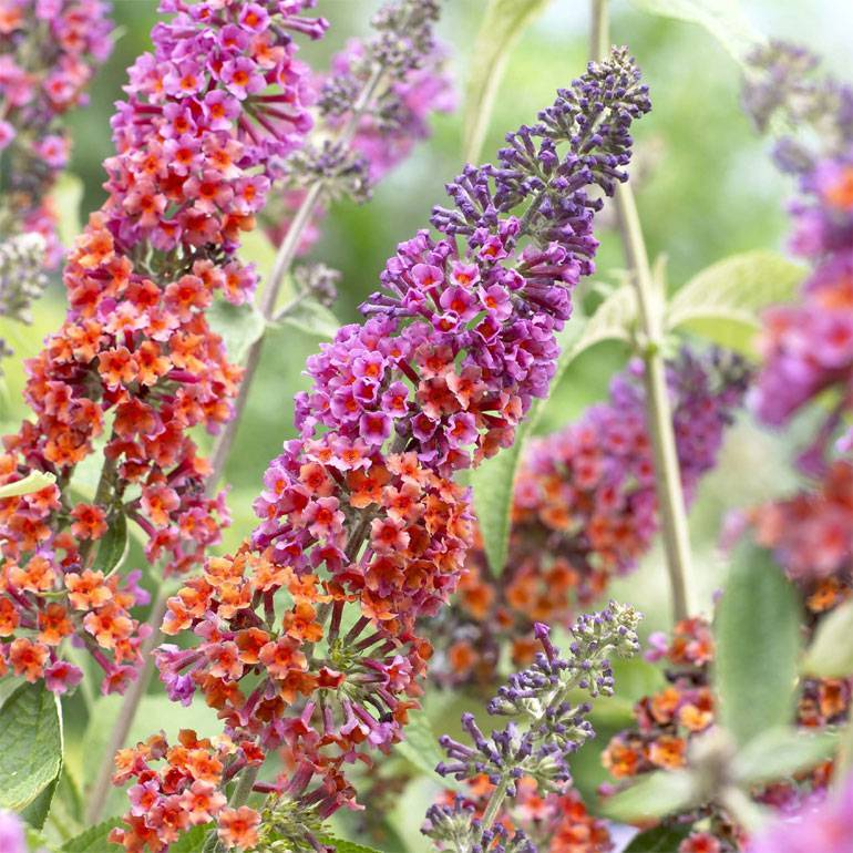 Буддлея давида выращивание из семян в домашних условиях посадка и уход в открытом грунте фото