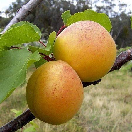 Описание и характеристика абрикоса маньчжурский