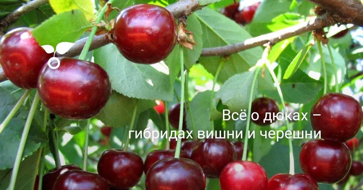 Чем вишня отличается от черешни? описание, сорта