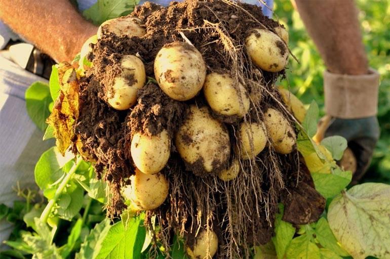 Описание и характеристика сорта картофеля леди клер