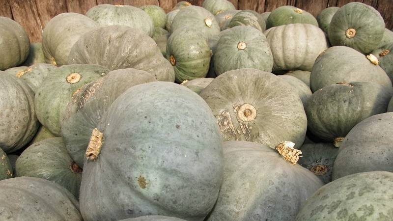 Особенности и выращивание тыквы сорта «серая волжская»