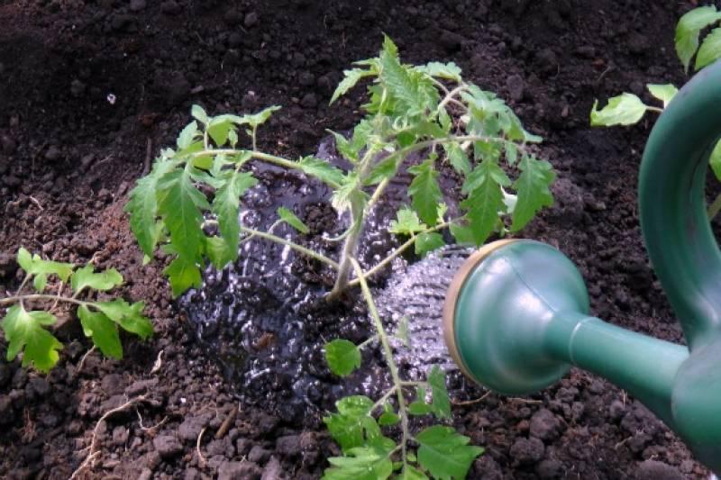 Как часто поливают рассаду помидора