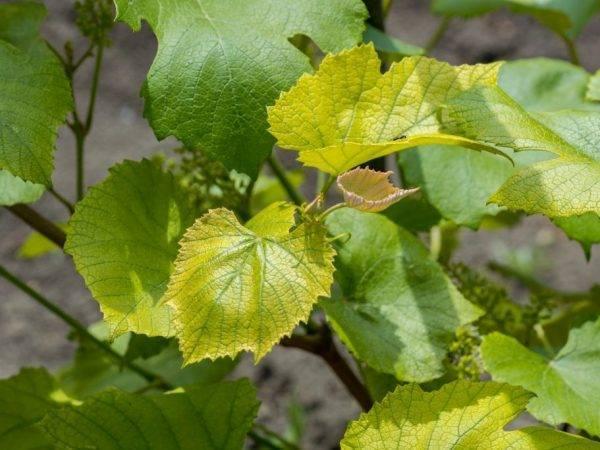Почему желтеют листья у тыквы и как с этим бороться?