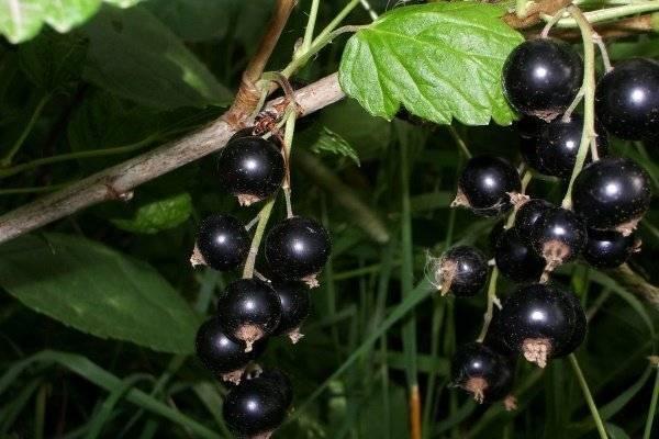Смородина чёрная волшебница — основные характеристики