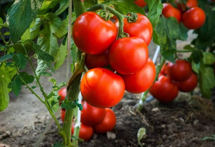 Томат ирина f1: отзывы, фото урожайность, характеристика и описание сорта, достоинства и недостатки