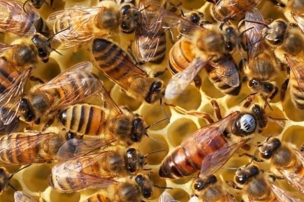 Пчела бакфаст: описание и особенности содержания