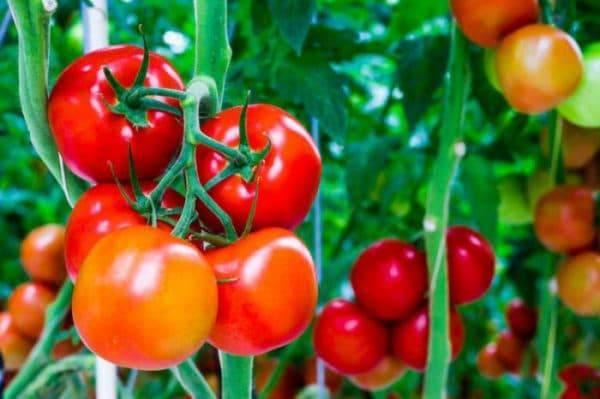 Подробное описание сорта томат «агата»