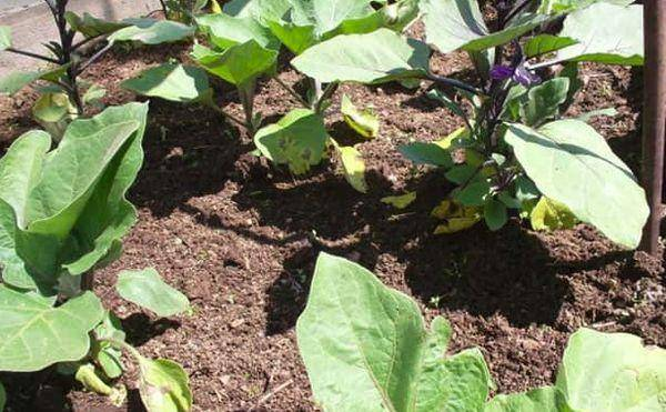 Как растёт баклажан илья муромец?