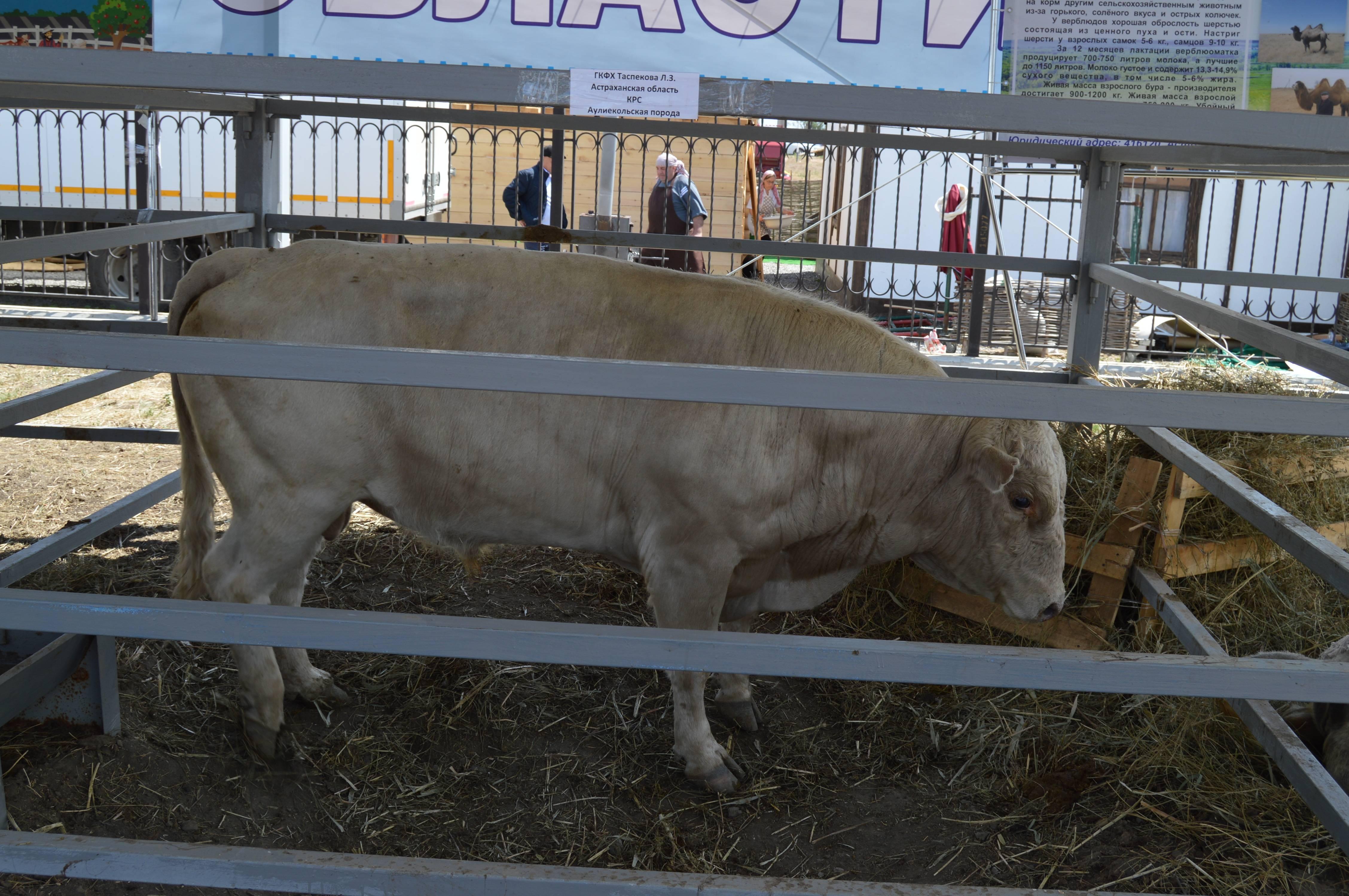 Симментальская порода крс: особенности содержания коров и быков