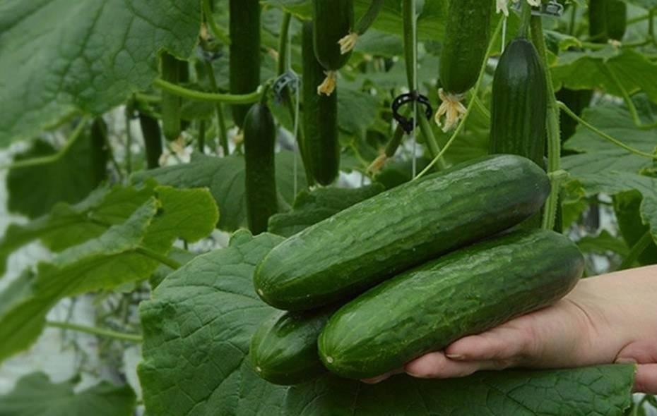 Нитрофоска: состав удобрения и особенности применения