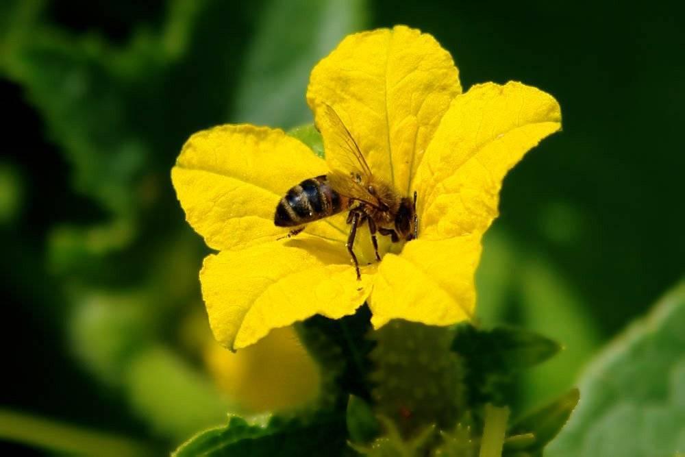 Производство меда: как пчелы и шмели собирают пыльцу