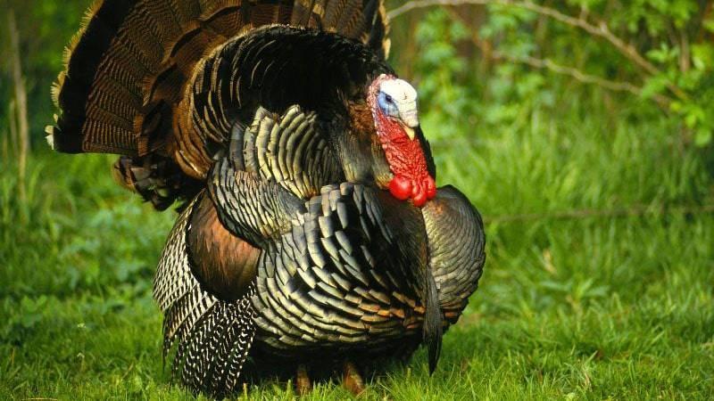 Бизнес на индюках: мясо, яйца, перья. выгода с рентабельностью до 80%