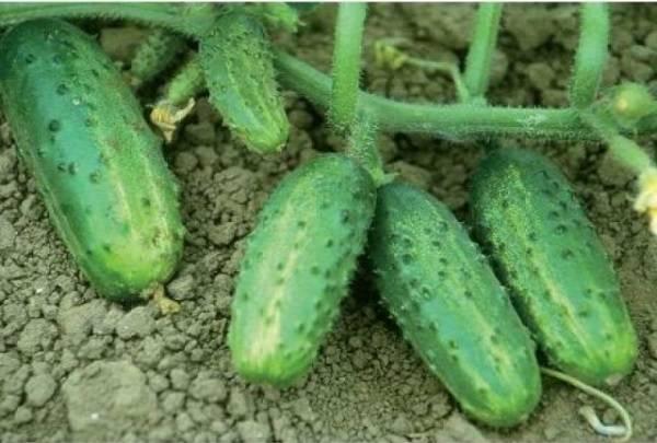 Об огурце хабар: описание сорта, характеристики, технология выращивания