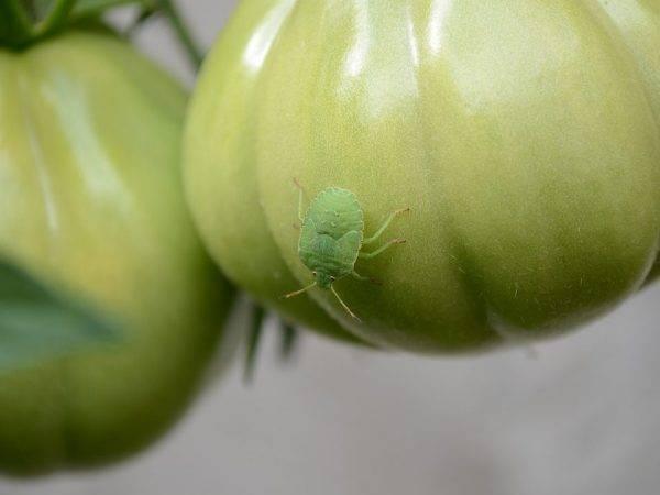 Болезни томата в открытом грунте и рассады в домашних условиях: описание вирусных и других недугов, их фото, также методы лечения помидоров и обработка от вредителей