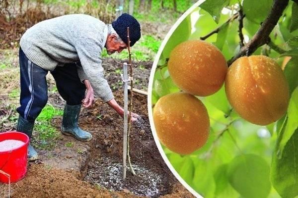 Болезни абрикосовых деревьев и их лечение