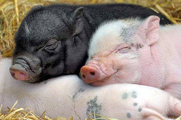 Статьи о племенном свиноводстве на piginfo   подсказки как стимулировать охоту у свиноматок после отъема и у ремонтных свинок