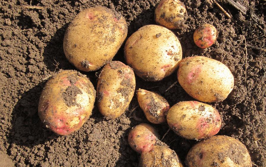 Сорт картофеля гала: характеристики, подробное описание, наглядные фото