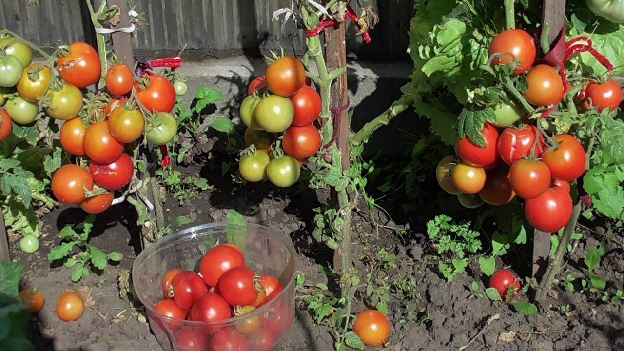 Как вырастить ранние помидоры сорта москвич