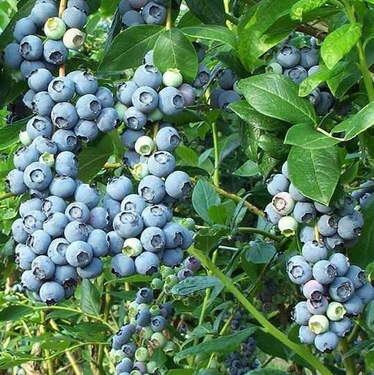 Голубика Эрлиблю (Earliblue): описание сорта, отзывы