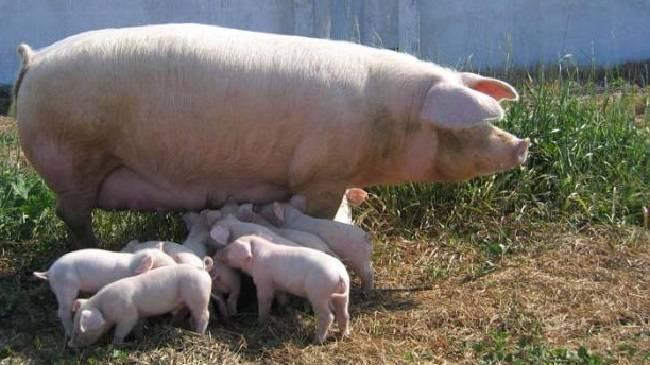 Порода свиней ландрас (30 фото): характеристика поросят, описание взрослых свиней мясной породы. правила кормления и ухода. отзывы владельцев