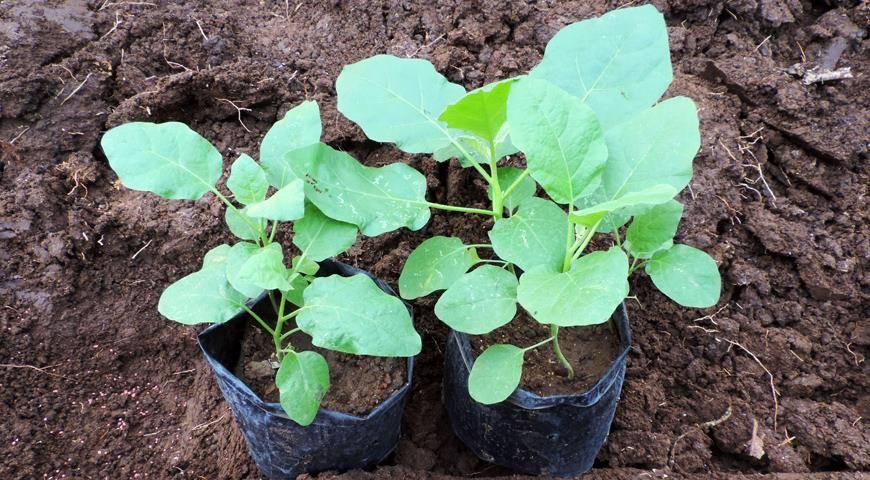 Рассада баклажанов: температура выращивания