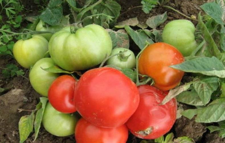 Сорта томатов для севера