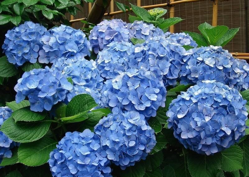 Синяя гортензия: описание, посадка и уход, сорта с фото